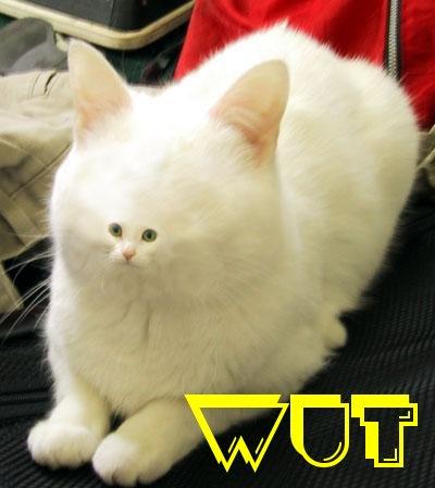 lolcat wut